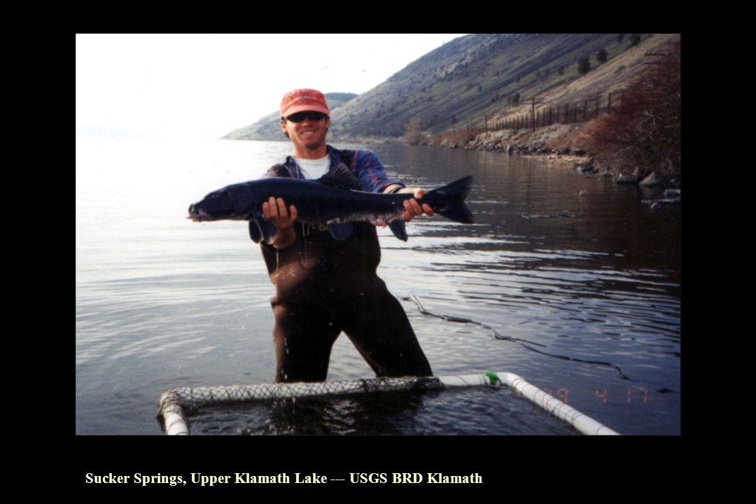 Sucker Springs, Upper Klamath Lake --- USGS BRD Klamath