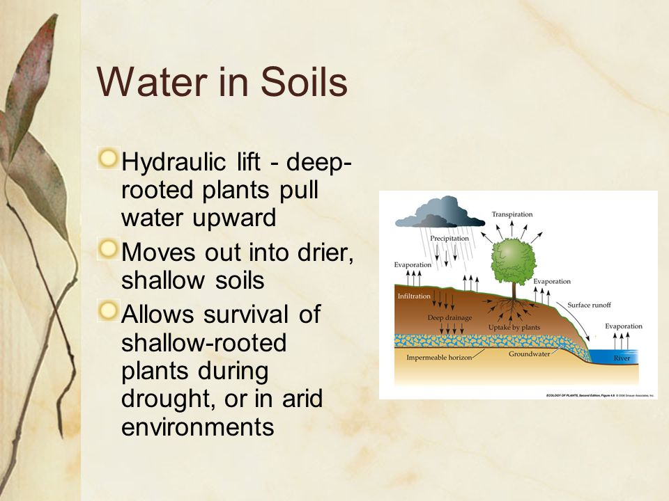 Hydraulic lift - deep- rooted plants pull water upward Moves out into drier, shallow soils Allows survival of shallow-rooted plants during drought, or in arid environments