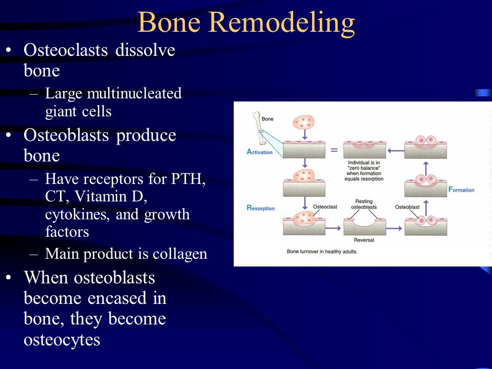 Bone Remodeling Osteoclasts dissolve bone –Large multinucleated giant cells Osteoblasts produce bone –Have receptors for PTH, CT, Vitamin D, cytokines