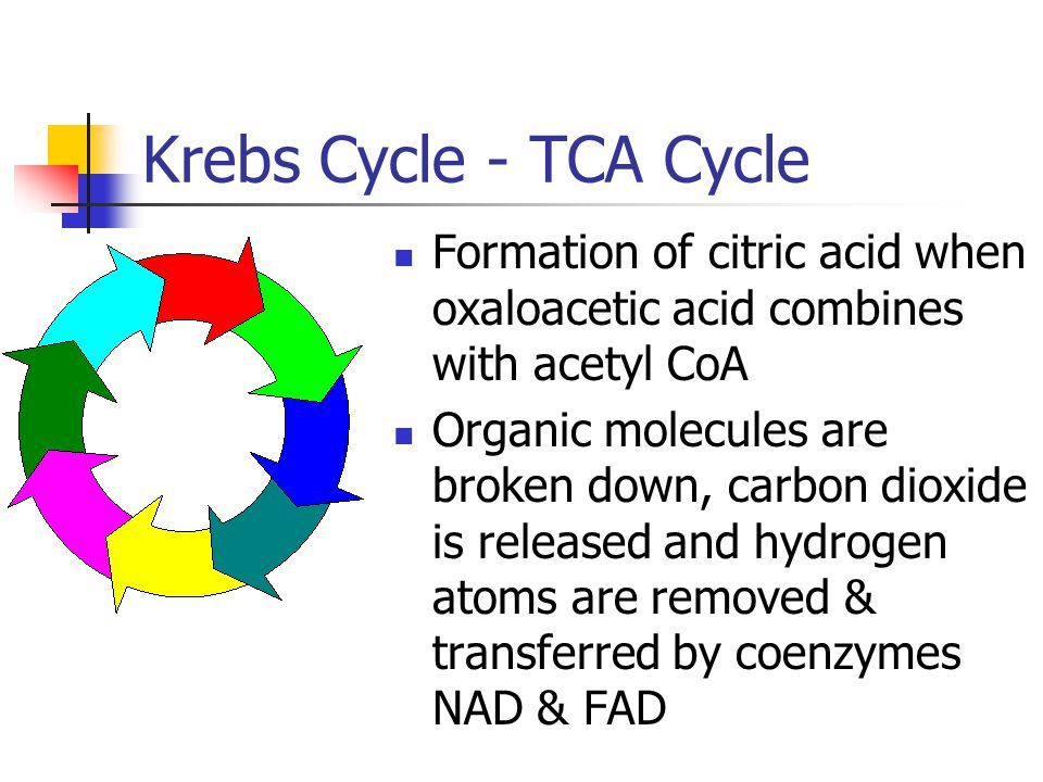 Krebs Cycle - TCA Cycle Formation of citric acid when oxaloacetic acid combines with acetyl CoA Organic molecules are broken down, carbon dioxide is released and hydrogen atoms are removed & transferred by coenzymes NAD & FAD