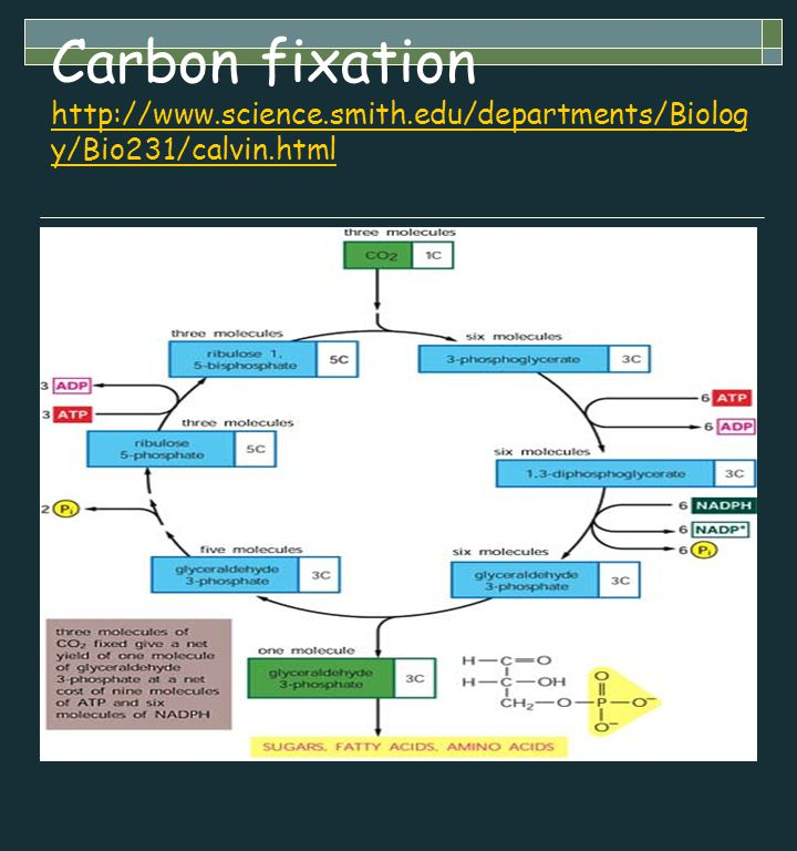 Carbon fixation http://www.science.smith.edu/departments/Biolog y/Bio231/calvin.html http://www.science.smith.edu/departments/Biolog y/Bio231/calvin.h