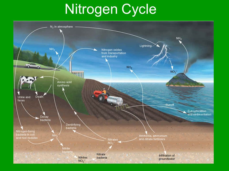 Nitrogen Cycle Atmospheric Nitrogen fixation by plants, bacteria, & lightning Urine (From protein catabolism) Fecal matter & fertilizers Dead & Decaying plant or animal matter Nitrogen evaporates into atmosphere from ground (Due to denitrifying bacteria)