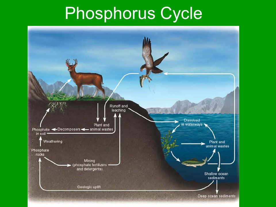 Phosphorus Cycle Plants obtain phosphorus from soil Animals obtain phosphorus by eating plants Animals die and decomposers break down phosphorus compounds and phosphorus returns to the soil (phosphates)