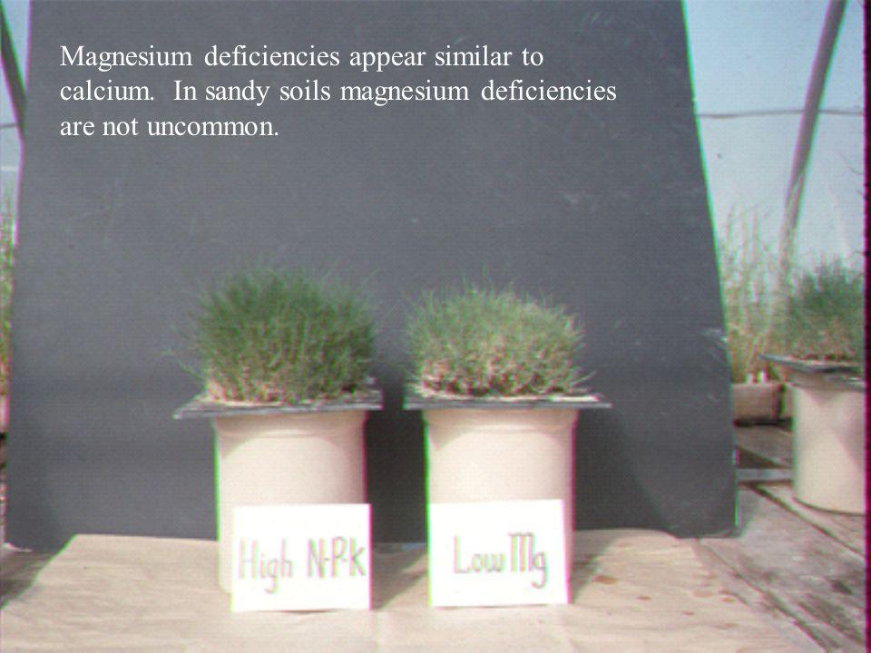 Magnesium deficiencies appear similar to calcium. In sandy soils magnesium deficiencies are not uncommon.