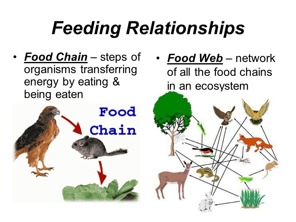 Feeding Relationships Food Chain – steps of organisms transferring energy by eating & being eaten Food Web – network of all the food chains in an ecos