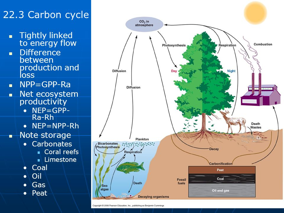 22.3 Carbon cycle Tightly linked to energy flow Difference between production and loss NPP=GPP-Ra Net ecosystem productivity NEP=GPP- Ra-Rh NEP=NPP-Rh Note storage Carbonates Coral reefs Limestone Coal Oil Gas Peat