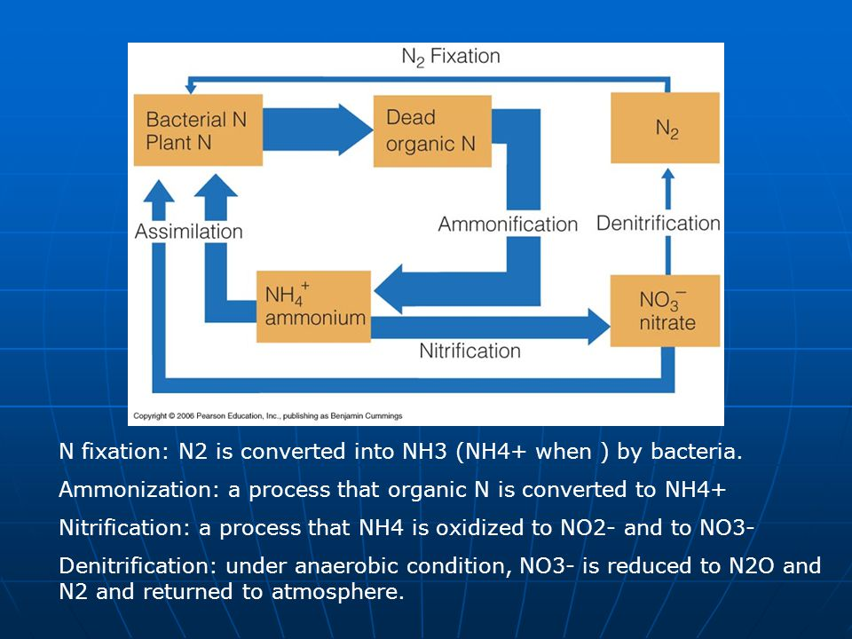 N fixation: N2 is converted into NH3 (NH4+ when ) by bacteria.