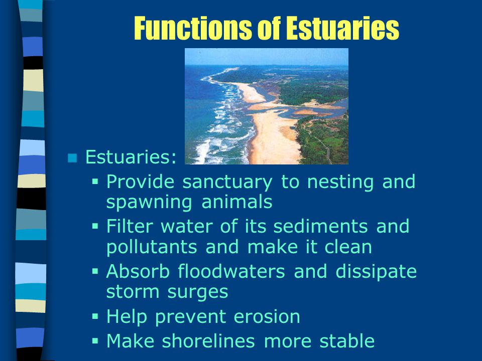 Functions of Estuaries Estuaries:  Provide sanctuary to nesting and spawning animals  Filter water of its sediments and pollutants and make it clean  Absorb floodwaters and dissipate storm surges  Help prevent erosion  Make shorelines more stable