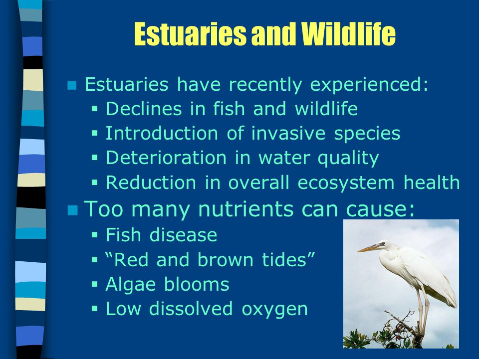Estuaries and Wildlife Estuaries have recently experienced:  Declines in fish and wildlife  Introduction of invasive species  Deterioration in water quality  Reduction in overall ecosystem health Too many nutrients can cause:  Fish disease  Red and brown tides  Algae blooms  Low dissolved oxygen
