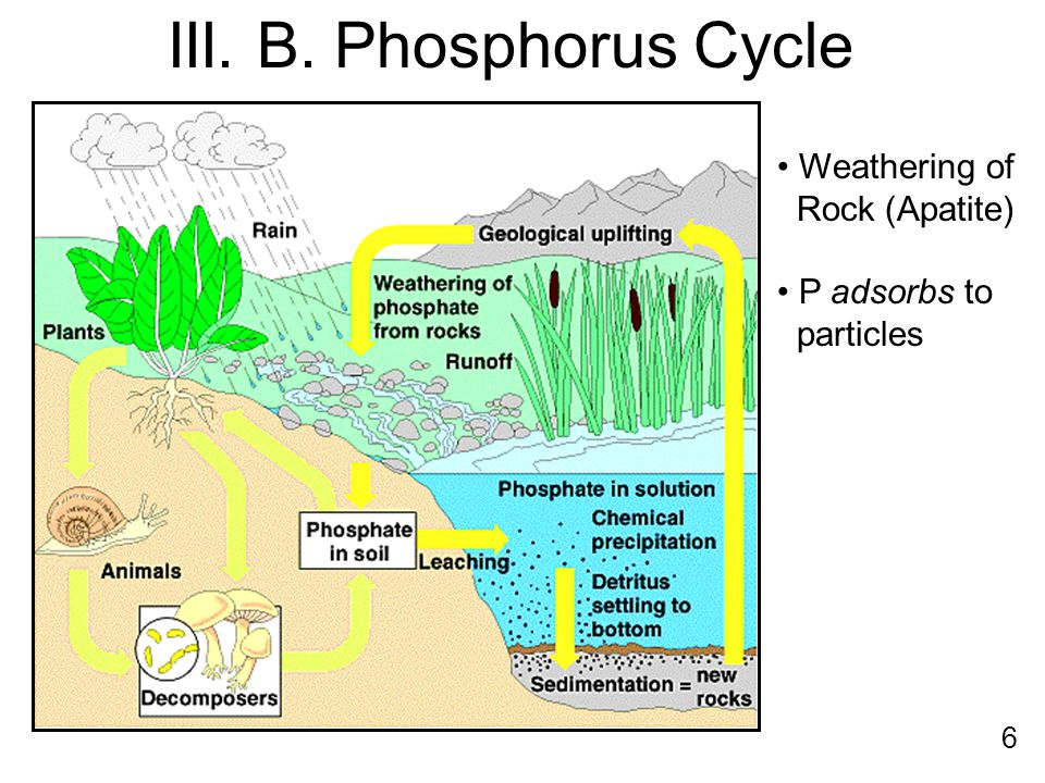 Weathering of Rock (Apatite) P adsorbs to particles III. B. Phosphorus Cycle 6