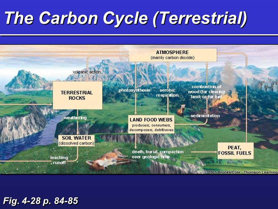 Processes that Release Organic Carbon to Carbon Dioxide Burning Cellular Respiration –plants –animals Decomposition