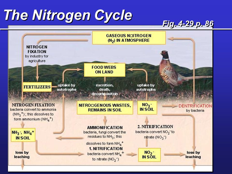 Nitrogen Cycle How is N removed from the atmosphere.