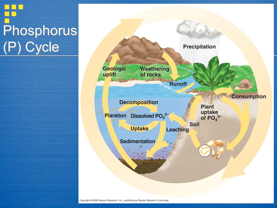 Phosphorus (P) Cycle