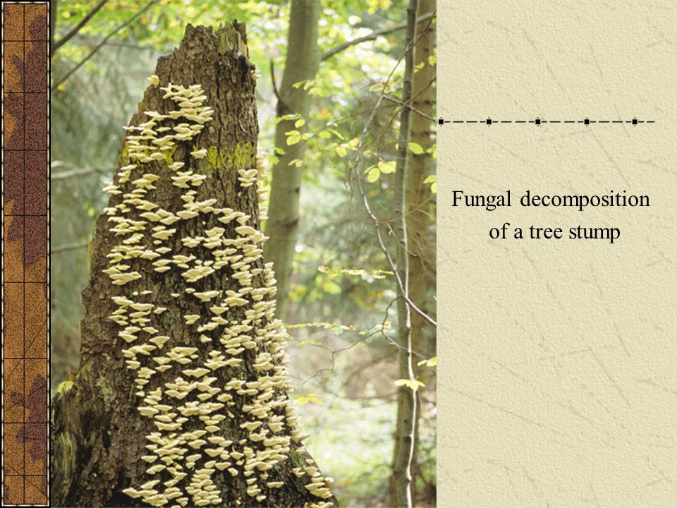 Fungal decomposition of a tree stump