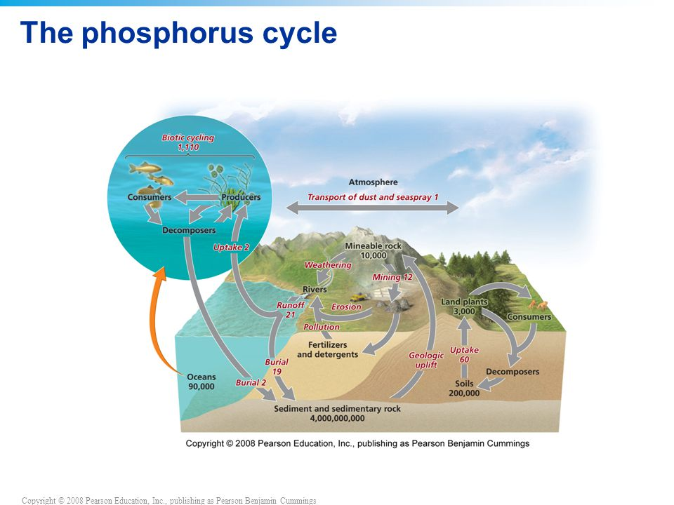 Copyright © 2008 Pearson Education, Inc., publishing as Pearson Benjamin Cummings The phosphorus cycle