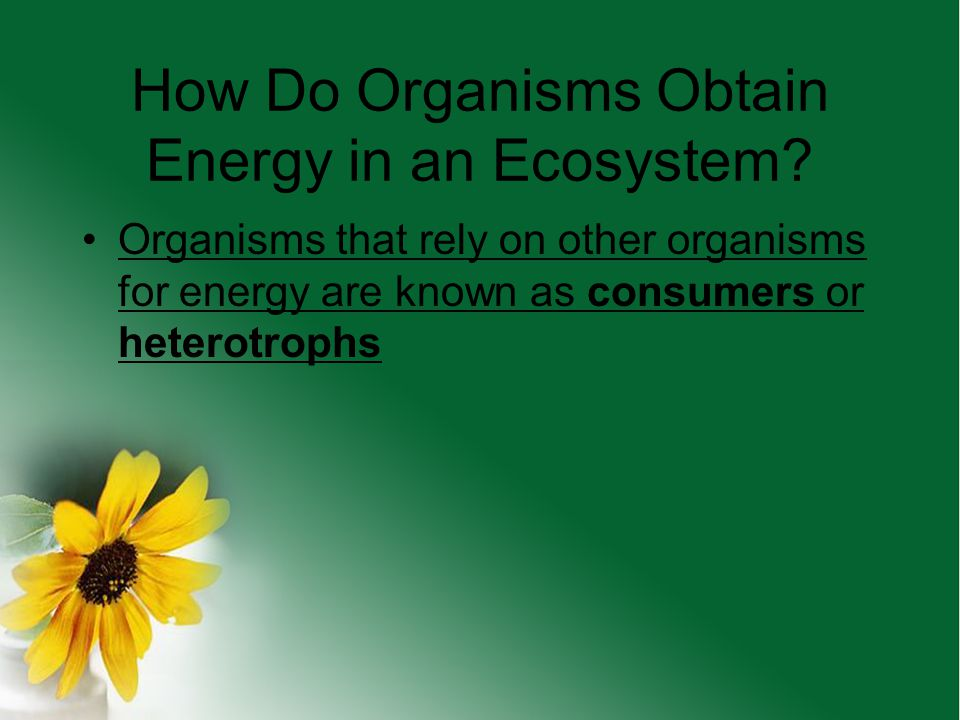 How Do Organisms Obtain Energy in an Ecosystem? What if there is no light in the ecosystem? The autotrophs will use chemosynthesis, which is a process