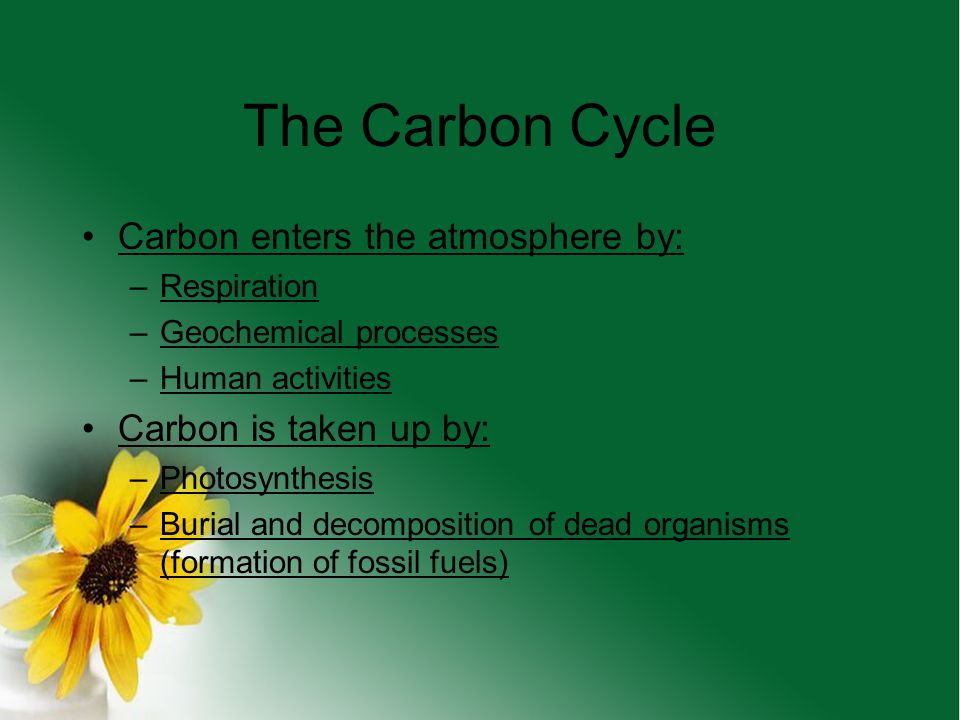 The Carbon Cycle Carbon's Roles –Ingredient in living tissue –Important component of animal skeletons (CaCO 3 ) –Important component of the atmosphere