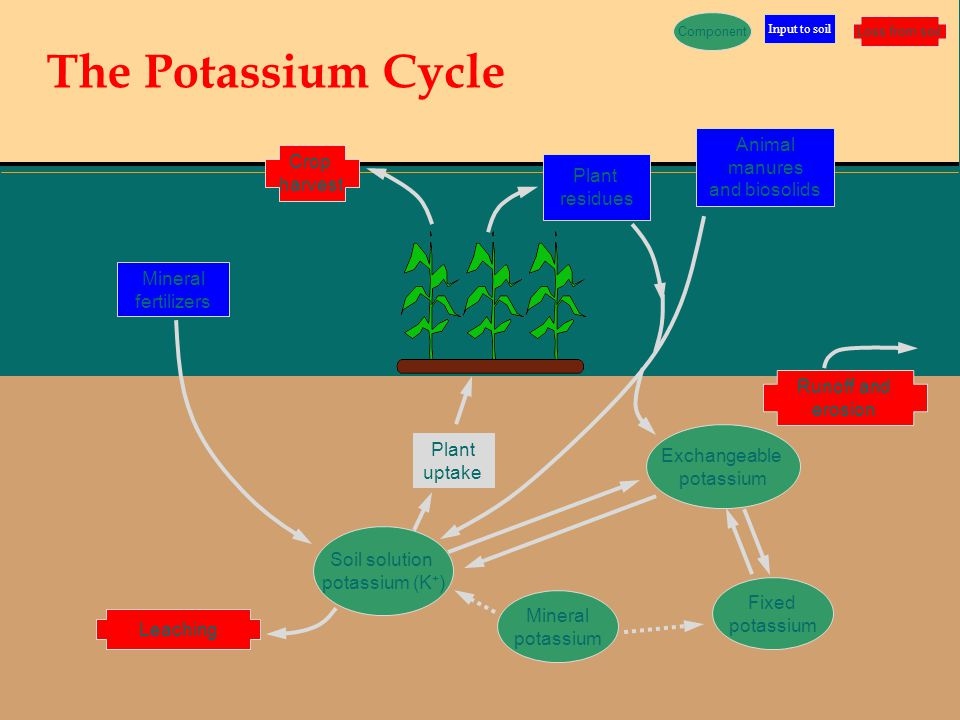 The Potassium Cycle Animal manures and biosolids Mineral fertilizers Crop harvest Runoff and erosion Leaching Soil solution potassium (K + ) Plant res