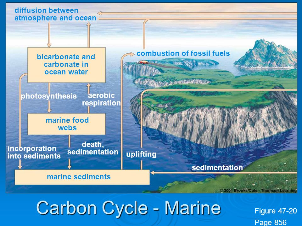 Figure 47-20 Page 856 diffusion between atmosphere and ocean bicarbonate and carbonate in ocean water marine food webs marine sediments combustion of fossil fuels incorporation into sediments death, sedimentation uplifting sedimentation photosynthesis aerobic respiration Carbon Cycle - Marine