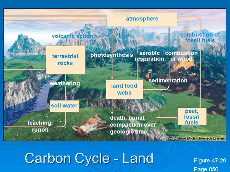 Carbon Cycle - Land photosynthesis aerobic respiration terrestrial rocks soil water land food webs atmosphere peat, fossil fuels combustion of wood sedimentation volcanic action death, burial, compaction over geologic time leaching, runoff weathering combustion of fossil fuels Figure 47-20 Page 856