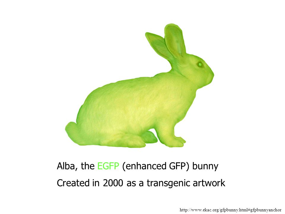 Alba, the EGFP (enhanced GFP) bunny Created in 2000 as a transgenic artwork http://www.ekac.org/gfpbunny.html#gfpbunnyanchor