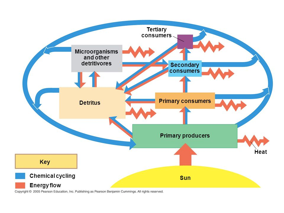 Microorganisms and other detritivores Tertiary consumers Secondary consumers Detritus Primary consumers Sun Primary producers Heat Key Chemical cycling Energy flow
