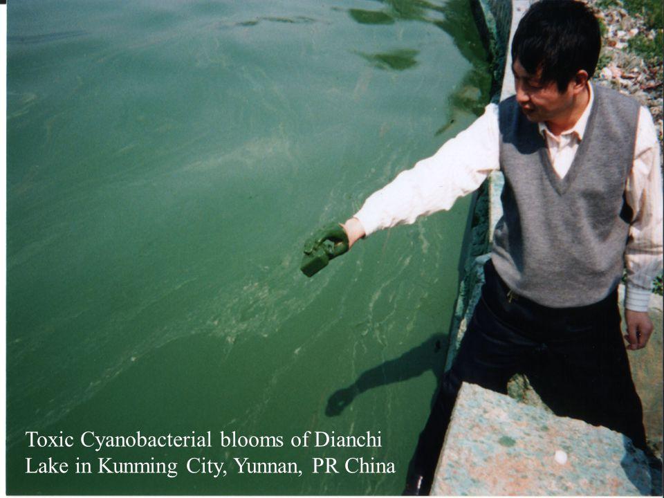 Toxic Cyanobacterial blooms of Dianchi Lake in Kunming City, Yunnan, PR China