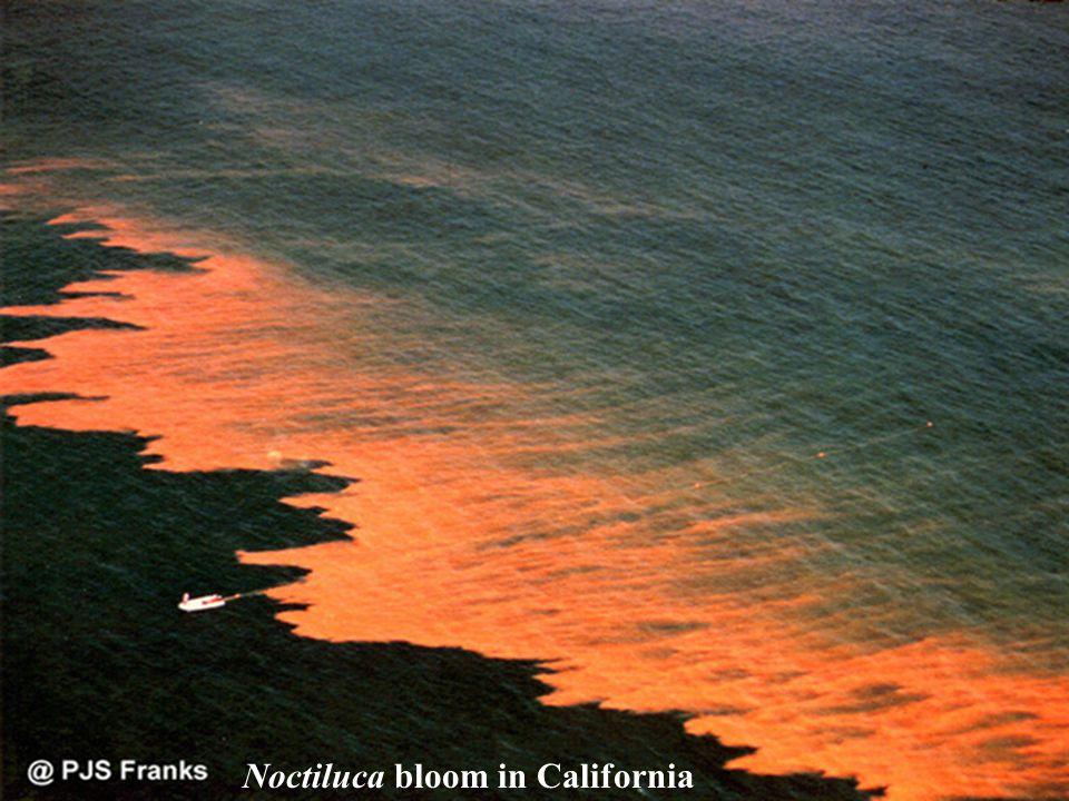 Noctiluca bloom in California