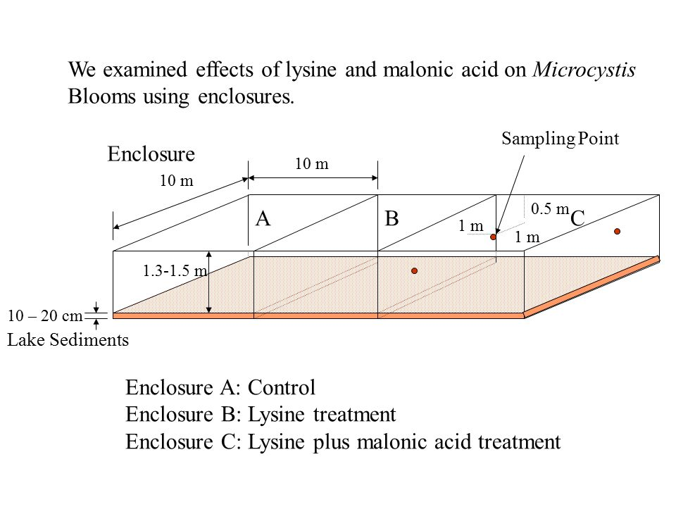 We examined effects of lysine and malonic acid on Microcystis Blooms using enclosures. Enclosure 10 m 1.3-1.5 m 10 – 20 cm ABC Lake Sediments Enclosur