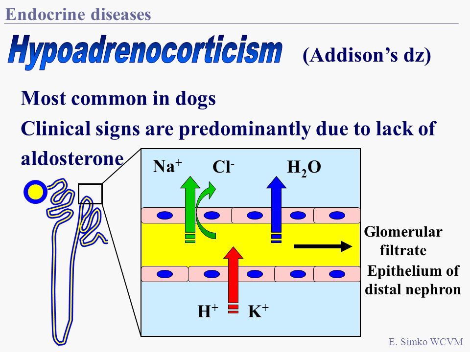 Endocrine diseases Most common in dogs Clinical signs are predominantly due to lack of aldosterone E.