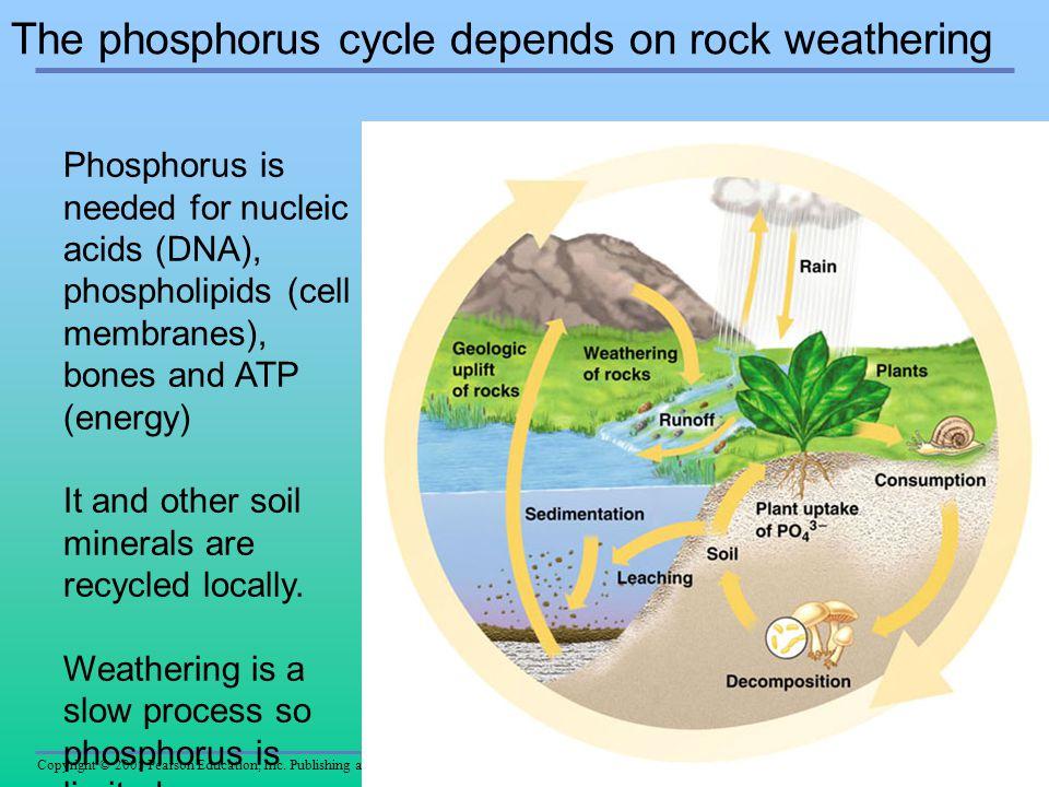 Copyright © 2005 Pearson Education, Inc. Publishing as Benjamin Cummings The phosphorus cycle depends on rock weathering Figure 37.19 Phosphorus is ne