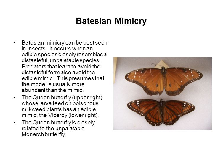 Batesian Mimicry Batesian mimicry can be best seen in insects.