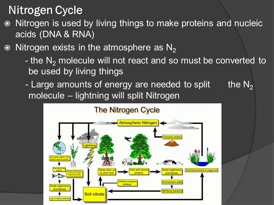  Nitrogen is used by living things to make proteins and nucleic acids (DNA & RNA)  Nitrogen exists in the atmosphere as N 2 - the N 2 molecule will