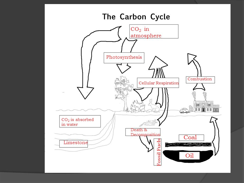 CO 2 in atmosphere Photosynthesis Cellular Respiration Combustion Coal Oil Death & Decomposition Fossil Fuels CO 2 is absorbed in water Limestone