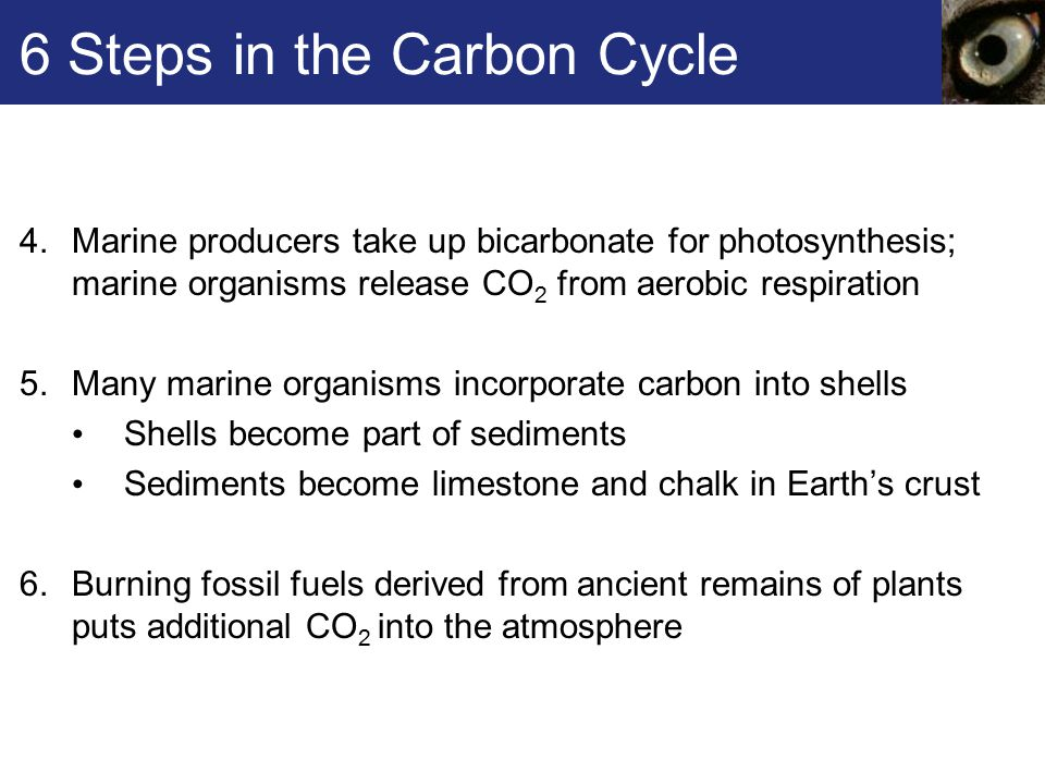 6 Steps in the Carbon Cycle 4.Marine producers take up bicarbonate for photosynthesis; marine organisms release CO 2 from aerobic respiration 5.Many marine organisms incorporate carbon into shells Shells become part of sediments Sediments become limestone and chalk in Earth's crust 6.Burning fossil fuels derived from ancient remains of plants puts additional CO 2 into the atmosphere