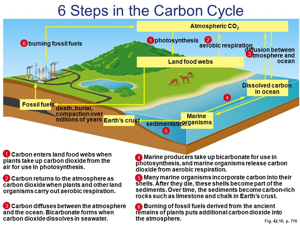 Fig. 42.10, p. 716 Marine organisms sedimentation Earth's crust death, burial, compaction over millions of years Fossil fuels Dissolved carbon in ocea