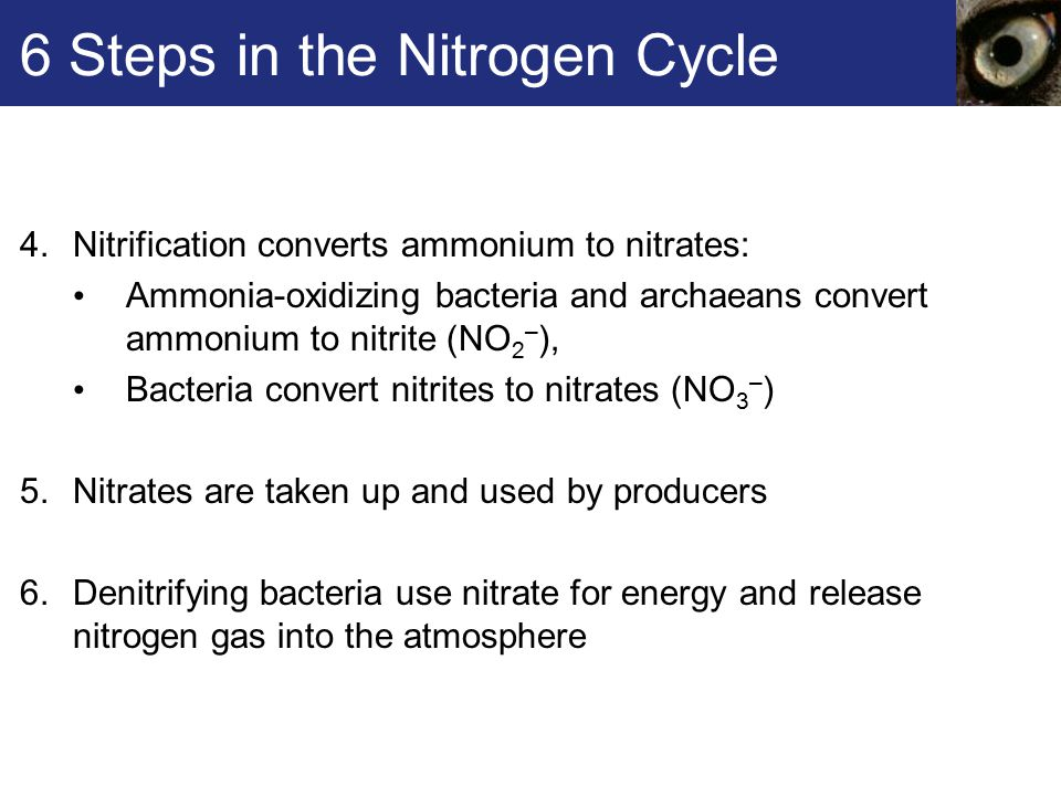 6 Steps in the Nitrogen Cycle 4.Nitrification converts ammonium to nitrates: Ammonia-oxidizing bacteria and archaeans convert ammonium to nitrite (NO 2 – ), Bacteria convert nitrites to nitrates (NO 3 – ) 5.Nitrates are taken up and used by producers 6.Denitrifying bacteria use nitrate for energy and release nitrogen gas into the atmosphere