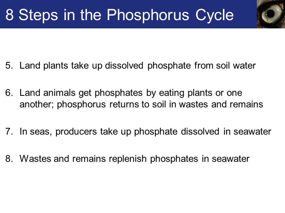 8 Steps in the Phosphorus Cycle 5.Land plants take up dissolved phosphate from soil water 6.Land animals get phosphates by eating plants or one another; phosphorus returns to soil in wastes and remains 7.In seas, producers take up phosphate dissolved in seawater 8.Wastes and remains replenish phosphates in seawater