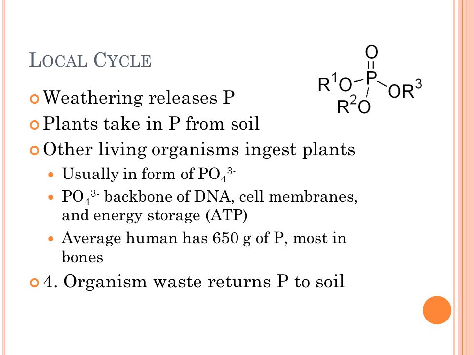 L OCAL C YCLE Weathering releases P Plants take in P from soil Other living organisms ingest plants Usually in form of PO 4 3- PO 4 3- backbone of DNA, cell membranes, and energy storage (ATP) Average human has 650 g of P, most in bones 4.