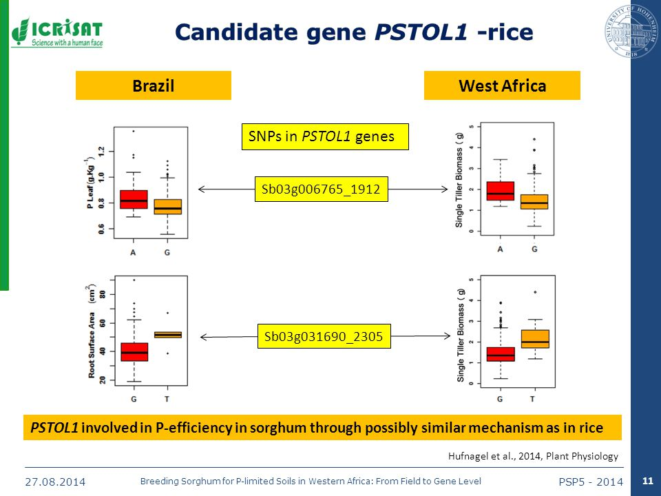 27.08.2014PSP5 - 2014 Breeding Sorghum for P-limited Soils in Western Africa: From Field to Gene Level BrazilWest Africa 11 Hufnagel et al., 2014, Plant Physiology PSTOL1 involved in P-efficiency in sorghum through possibly similar mechanism as in rice Sb03g006765_1912 Sb03g031690_2305 SNPs in PSTOL1 genes