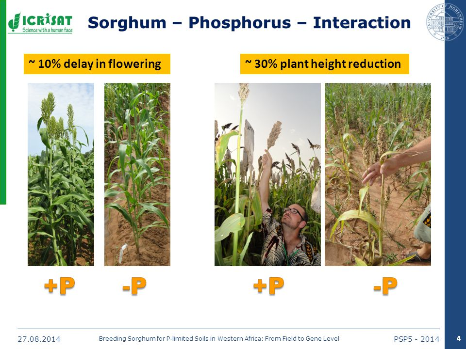 27.08.2014PSP5 - 2014 Breeding Sorghum for P-limited Soils in Western Africa: From Field to Gene Level ~ 10% delay in flowering~ 30% plant height reduction 4