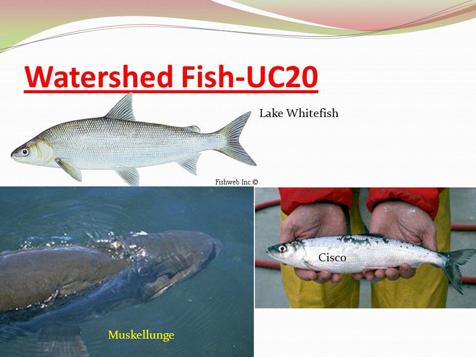 Watershed Fish-UC20 Lake Whitefish Cisco Muskellunge