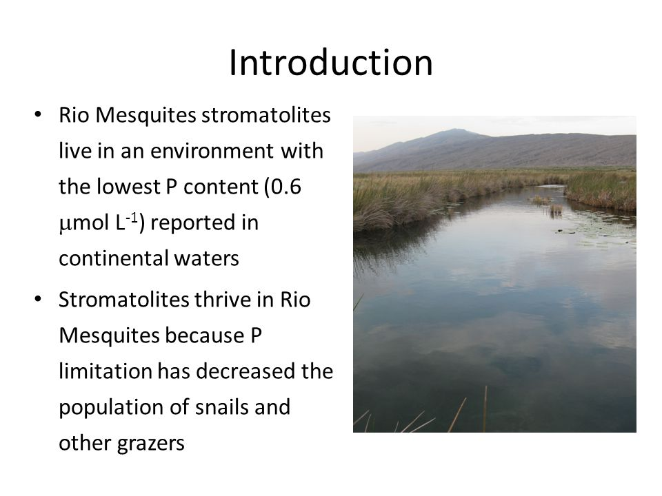 Introduction Rio Mesquites stromatolites live in an environment with the lowest P content (0.6  mol L -1 ) reported in continental waters Stromatolites thrive in Rio Mesquites because P limitation has decreased the population of snails and other grazers