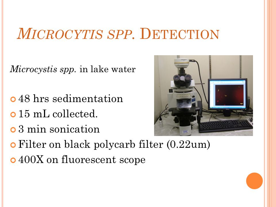 M ICROCYTIS SPP. D ETECTION Microcystis spp. in lake water 48 hrs sedimentation 15 mL collected.