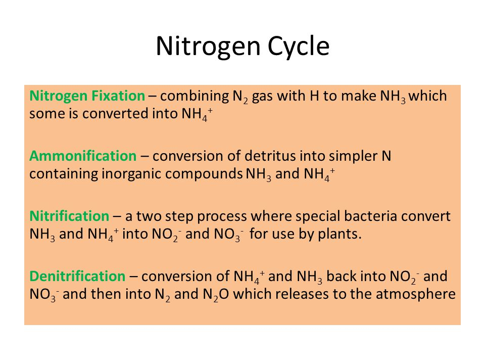 Nitrogen Cycle Nitrogen Fixation – combining N 2 gas with H to make NH 3 which some is converted into NH 4 + Ammonification – conversion of detritus i