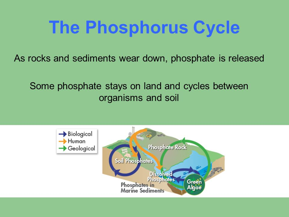 The Phosphorus Cycle As rocks and sediments wear down, phosphate is released Some phosphate stays on land and cycles between organisms and soil