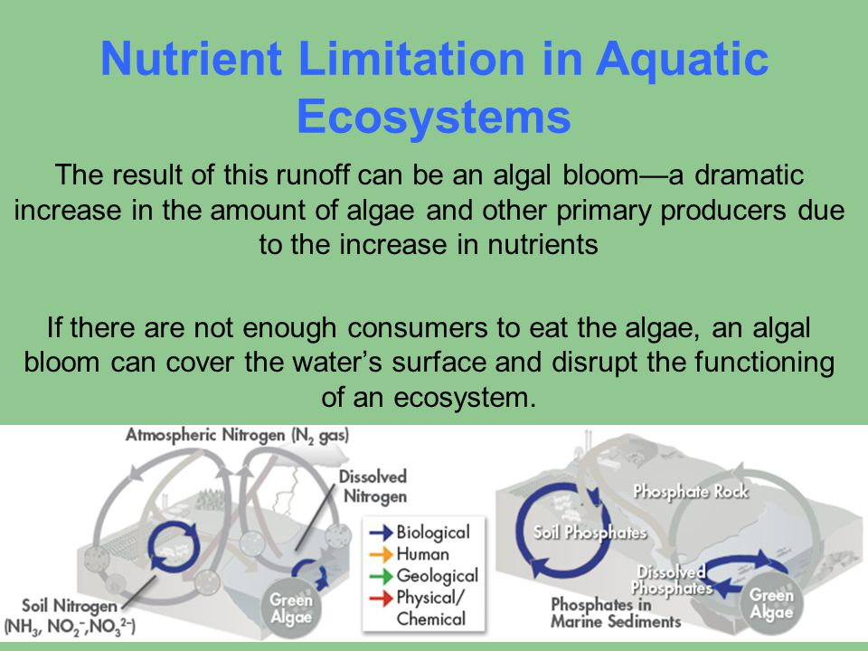 Nutrient Limitation in Aquatic Ecosystems The result of this runoff can be an algal bloom—a dramatic increase in the amount of algae and other primary