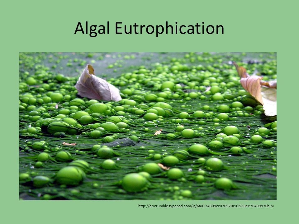 Algal Eutrophication http://ericrumble.typepad.com/.a/6a0134809cc070970c01538ee76499970b-pi