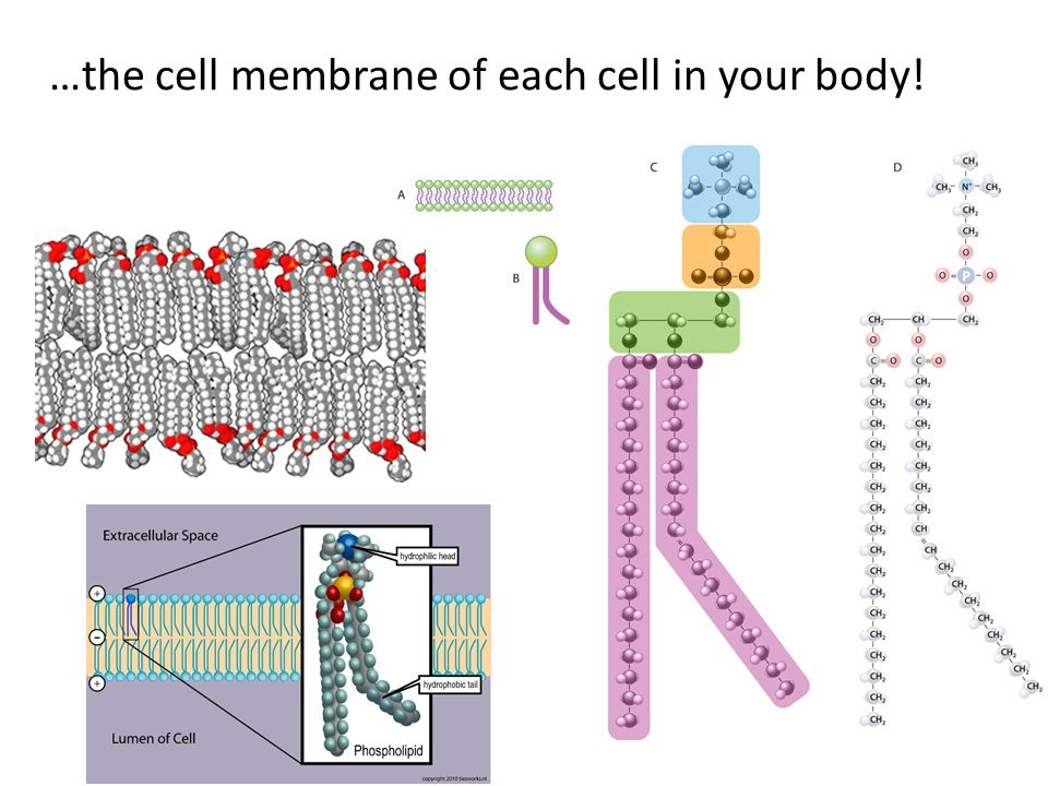 …the cell membrane of each cell in your body!