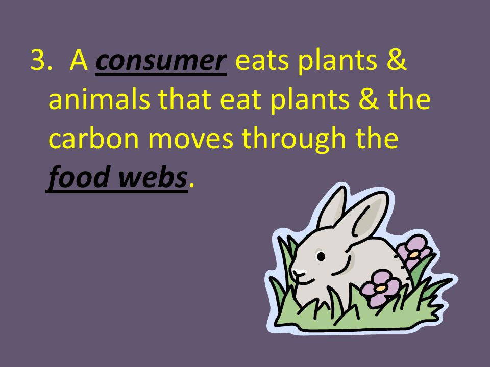 3. A consumer eats plants & animals that eat plants & the carbon moves through the food webs.